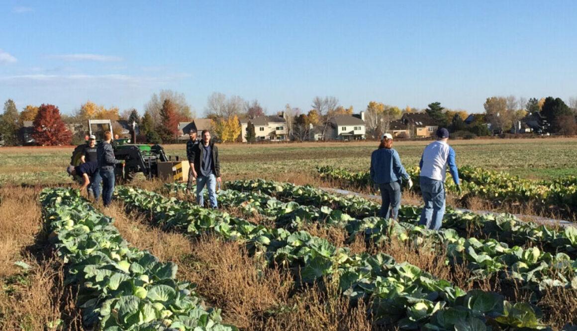 Atlas Gives Back | Cabbage Harvest at Kilt Farm