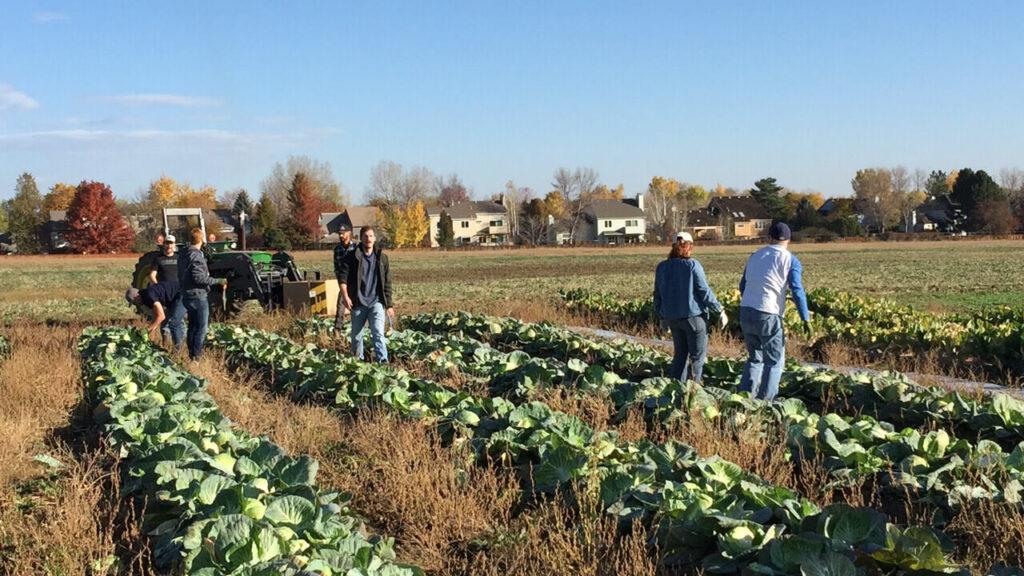 Atlas Gives Back   Cabbage Harvest at Kilt Farm